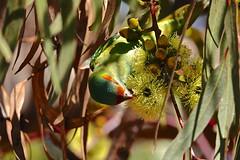Musk Lorikeet (Rodger1943) Tags: lorikeets musklorikeet australianbirds sonyrx10m4