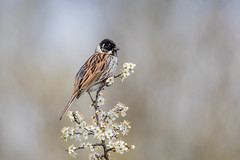 Sitting Pretty! (Linda Martin Photography) Tags: dorset male wildlife longhamlakes bird reedbunting emberizaschoeniclus nature uk animal coth ngc