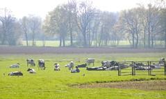 Cows are out (simonpfotos) Tags: cow dutchlandscape