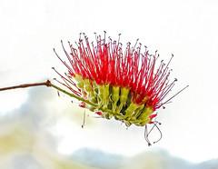 Mistletoe (Rod Waddington) Tags: africa afrique afrika madagascar malagasy flower nature mistletoe red outdoor plant