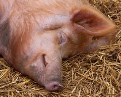 _1007208.jpg (Stephen.Bingham) Tags: churchfarm pig sow asleep stowbardolph norfolk head ccbysa creativecommons attributionsharealike