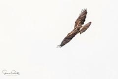 Swainson's Hawk (Stephen J Pollard (Loud Music Lover of Nature)) Tags: buteoswainsoni raptor averapaz birdofprey avedepresa ave bird swainsonshawk aguililladeswainson highkey