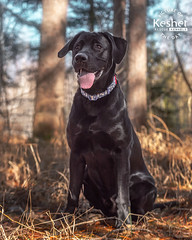 Picture of the Day (Keshet Kennels & Rescue) Tags: adoption dog ottawa ontario canada keshet large breed dogs animal animals pet pets field nature photography black lab puppy labrador retriever sit spring forest grass springtime sunlight