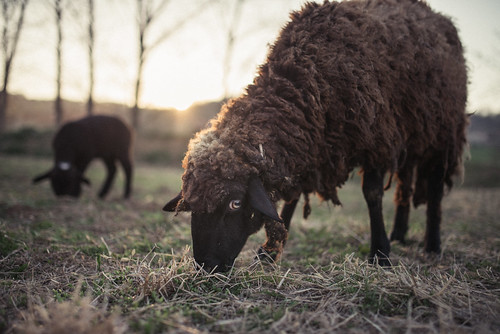 Black sheep eating grass on a meadow