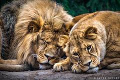 On Safari (James Neeley) Tags: idaho idahofallszoo wildlife lions jamesneeley