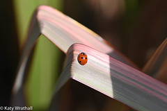 Spots and stripes (Katy Wrathall) Tags: garden spring england eastriding 108365 2019pad eastyorkshire insect 2019 ladybird april