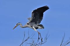 héron cendré 19C_3586 (Bernard Fabbro) Tags: héron cendré grey heron oiseau bird