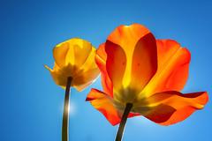The joy of spring (FocusPocus Photography) Tags: tulpen tulips frühling spring blumen flowers sonnig sunny flora himmel sky