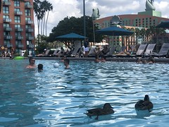 Some uninvited guests at the Dolphin Hotel pool in Disney World (Hazboy) Tags: 2018 september florida world disney hotel dolphin ducks pool hazboy1 hazboy