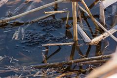 Oeufs grenouille (Lise Tiolu) Tags: etang marre tétards oeufs grenouilles nature animaux animal nikon 1v3