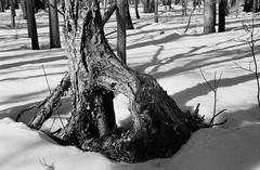 Arched Tree Trunk (Helios 1984) Tags: topcon35l beselertopconl topconl beselerl topcor44cmf2 topcor44mmf2 doublegausslens doublegauss rangefindercamera topcon tokyokogaku トプコン35l トプコン レンジファインダーカメラ フィルム ヴィンテージカメラ seikoshamxl leafshutter セイコーシャmxl konicaminoltadimageiv dimageivscanner minoltascanner dimageiv bwhomeprocessing expiredfilm expired35mmfilm agfarondinax rondinax35u ilfordrapidfixer daylightloadingfilmdevelopingtank sp110ec kodakhc110 ilfordfilm ilforddelta100 35mmcamera filmcamera 135mmfilm blackandwhitefilm treetrunk