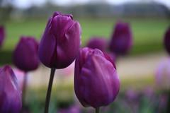 Les inséparables... (OGNB) Tags: canon6dmarkii nature purple pourpre flowers fleurs tulipes