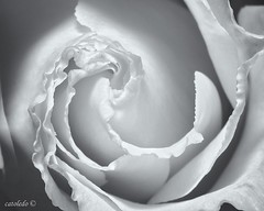 MACRO _MG_6806 2019_02_18-Pano-2-Edit (catoledo) Tags: 2019 flower macro recoleta buenosaires argentina