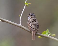 Lincoln's Sparrow (Nic.Allen.Birder) Tags: lincolns sparrow missouri parkville spring outdoor backyard nature wildlife bird melospiza lincolnii platte
