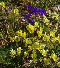 Fioritura di viole di montagna (Viola calacarata) (giorgiorodano46) Tags: aprile2019 april 2019 giorgiorodano rascino pianodirascino cicolano lazio italy
