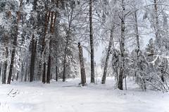DSC09573 (Дмитрий Панкратьев) Tags: деревья лес природа снег