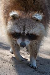 Raccoon / Waschbär (Burnett0305) Tags: afsnikkor200–500mm156eedvr bavaria bayern canoidea carnivora germany hof hundeärtige kleinbären mammalia nikond850 procyon procyonidae raccoon raubtiere säugetiere waschbär