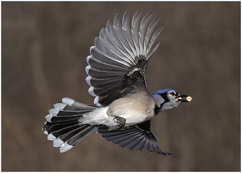 02-Blue Jay