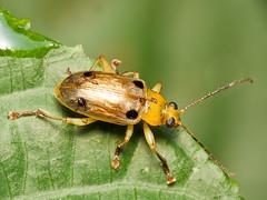 Metaxyonycha sp. (Eerika Schulz) Tags: käfer beetle ecuador puyo eerika schulz metaxyonycha
