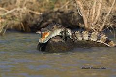4J7A2165_Crocodile (Puce55-Elisabeth,) Tags: kenya lac baringo crocodile animal wildlife