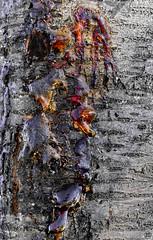 Tears of blood (Aspenlaub (blattboldt)) Tags: tree resin bark nature grey orange red blood naked zeiss sony carlzeiss ilce7rm3 alpha7riii manualfocus manualiris manualexposure specialthankstochristophecasenaveandhisteamfromzeissfortheirpersonalinvolvementinthedevelopmentoftheloxialensline ⚶ emount loxia2485 loxia2485sonnar 85mm 51695547 sonnar wabisabi 侘寂 苦 ku hoyara54redenhancerintensifier nārrātō legitō morphographic poetic
