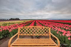 IMG_7311 (RegiShu) Tags: bloom flower flowers oregon spring tulip tulips us usa woodburn woodenshoetulipfarm unitedstatesofamerica
