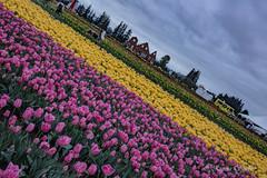 IMG_7288 (RegiShu) Tags: bloom flower flowers oregon spring tulip tulips us usa woodburn woodenshoetulipfarm unitedstatesofamerica
