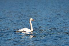Swan at sunset (JarkkoS) Tags: 70200mmf28efledvr animal bird boat boating d500 espoo espoonlahti finland swan tc17eii uusimaa