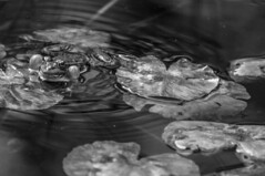 La rana (seguicollar) Tags: art arte artedigital texturas virginiaseguí imagencreativa photomanipulation rana sapo agua hojas estanque water blancoynegro blackandwhite