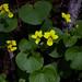 Viola biflora (Two-flowered Violet)