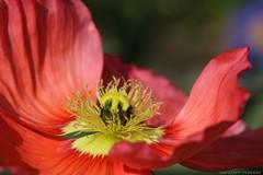 Papaver nudicaule (LLD photographie) Tags: papavernudicaule pavotdislande fleur jardin nature