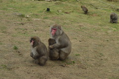 Japanese Macaques (CoasterMadMatt) Tags: highlandwildlifepark2018 highlandwildlifepark highland wildlifepark wildlife park zoo zoos zoologicalgardens animalparks animalpark animal parks scottishzoos zoosinscotland enclosure enclosures animalenclosures animals exhibit exhibits japanesemacaque japanese macaque macacafuscata snowmonkey monkey monkeys kingussie kineussie invernessshire scottishhighlands scottish highlands scotland alba britain greatbritain unitedkingdom gb uk europe december2018 autumn2018 december autumn 2018 coastermadmattphotography coastermadmatt photos photographs photography nikond3200