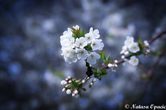 There Is A Positive Side To Everything. It Just Takes A Positive Mind To See It (_Natasa_) Tags: spring beginning positivity nature art closeup macro bokeh dof flowers bloom branch tree white whiteflowers canon canoneos7d canonef2470mmf28liiusm natasaopacic natasaopacicphotography