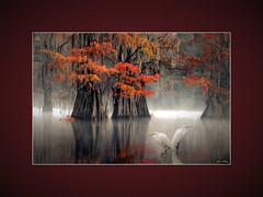 Friends of the Bayou (landscape) (John's Love of Nature) Tags: framed outdoor nature johnkelley johnsloveofnature wildlife wildlifeart davidthompson bayou swamp moody baldcypress autumn natureart davidthompsonphotography greategret ardeaalba mist misty fog atmosphere