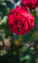 mother rose (pbo31) Tags: livermore california bayarea eastbay alamedacounty garden flower flora macro bloom spring nikon d810 color yard april 2019 boury pbo31 nature rose bush red