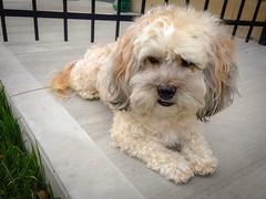 At Ease (PEEJ0E) Tags: rescue mutt dog backyard gate maltese rusty