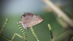 Wattle Blue butterfly (Andy Burton Oz) Tags: lucas1889 2019 afsvrmicronikkor105mmf28gifed andyburton andyburtonoz animal arthropoda australia bluegumcreek butterfly insecta invertebrate kuringai lanecoveriver lepidoptera lindfield lycaenidae newsouthwales nsw polyommatinae roseville sugarbagcreek sydney theclineesthes theclinestesmiskini wattleblue