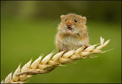 Feed Me! (Craig 2112) Tags: harvest mouse micromys minutus rodent mice macro wheat