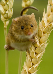 Harvest Mouse (Craig 2112) Tags: harvest mouse micromys minutus mice rodent macro wheat