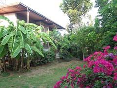 our backyard (the foreign photographer - ฝรั่งถ่) Tags: our backyard bangkhen bangkok thailand sony house banana plants bougainvillea