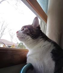 Garden Patrol (pirate johnny) Tags: cat window buffy