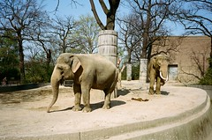 Berlin Zoo & Aquarium (iampaulrus) Tags: 35mm 35mmfilmphotography film filmphotography film35mm analog analogue lomography elephant berlin zoo mjuii olympusmjuii