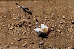 SafariWest-_DSC1374 (Vamsi K) Tags: california nature safari wildlife google santarosa ca usa