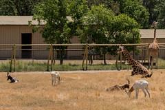 SafariWest-_DSC1388 (Vamsi K) Tags: california nature safari wildlife google santarosa ca usa
