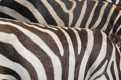Patterns (Pavlo Kuzyk) Tags: zebras animals animalkingdom nature safari africa canon