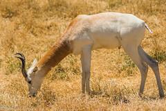 SafariWest-_DSC1413 (Vamsi K) Tags: california nature safari wildlife google santarosa ca usa