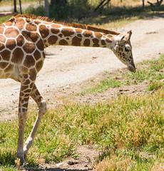 SafariWest-_DSC1463 (Vamsi K) Tags: california nature safari wildlife google santarosa ca usa