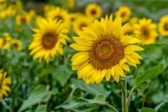 Ontario Sunflowers (David Hamments) Tags: zurich sunflowers ontario field