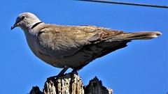 20190418 Streptopelia decaocto  -   Eurasian collared dove (lasertrimman) Tags: 20190418 streptopelia decaocto eurasian collared dove streptopeliadecaocto eurasiancollareddove bird