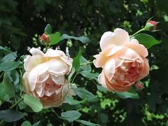 Prue's roses (Cheryl Dunlop Molin) Tags: roses peachroses garden flowers